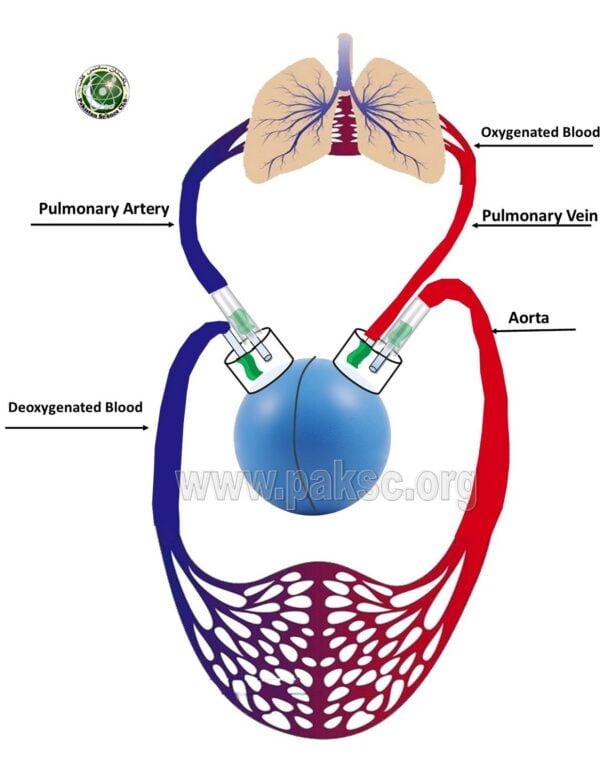 working model of human heart circulatory system