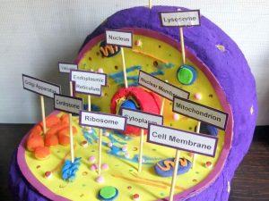 3d Animal cell model